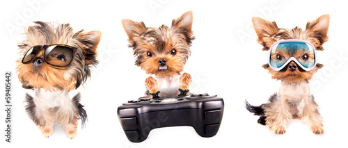 Puppy yorkshire terrier set
