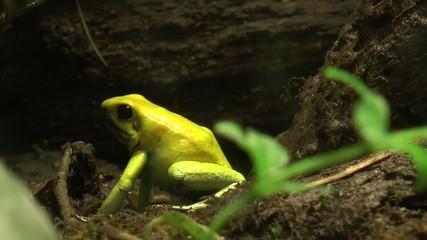 grenouille dorée