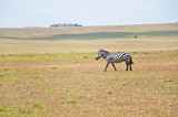 lonesome zebra roaming through the savannah - masai mara poster