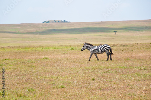 Fotobehang Zebra lonesome zebra roaming through the savannah - masai mara