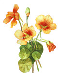 Watercolor with Nasturtium