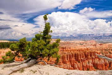 Old tree in Bryce Canyon National Park