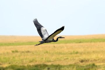 Flying african heron