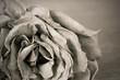 Obrazy na płótnie, fototapety, zdjęcia, fotoobrazy drukowane : Black and white image of old dead rose