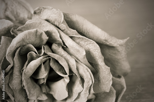 canvas print picture Black and white image of old dead rose