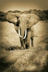 african elephant walking on the road - masai mara - sepia