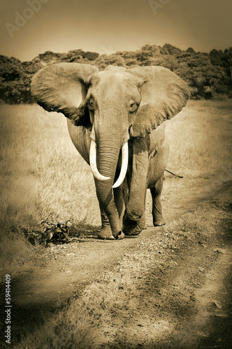 african elephant walking on the road - masai mara - sepia