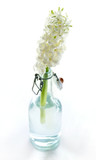 Single white hyacinth