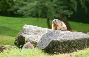 Alpine marmot on a rock