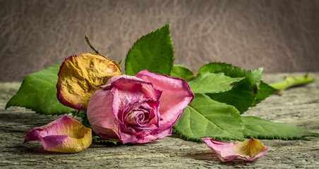 Withering pink rose lying on a rustic wooden table