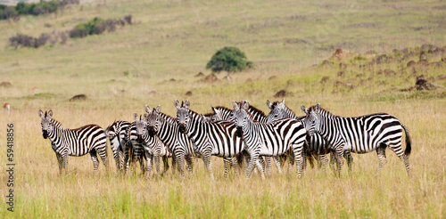 Foto op Aluminium Zebra zebra herd in the savannah - national park masai mara