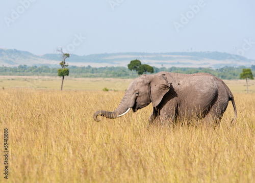 young african elephant prowling around in the savannah