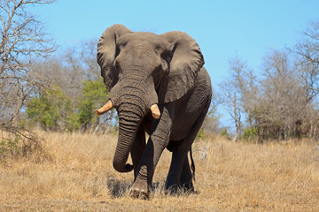Elefantenbulle