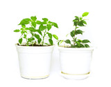 Home plants with green leaves in a white ceramic pot, isolated