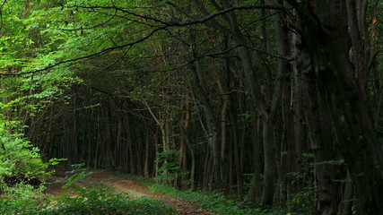 Tunnel -like path covered with bushes and trees with light