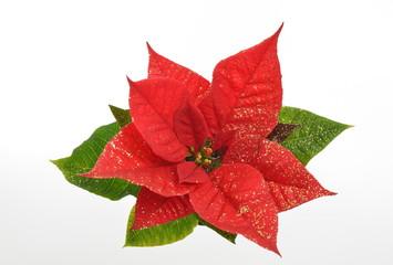 Adventsstern - Euphorbia pulcherrima