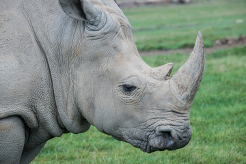 African rhino on a grass field