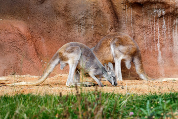 two Kangaroos