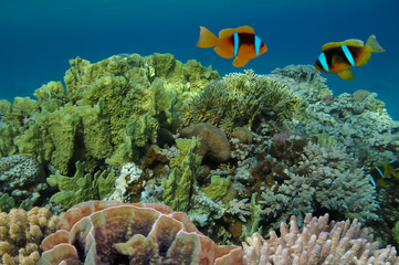 Anemonefish on underwater coral reef