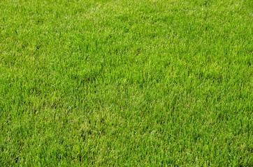 Background of fresh green spring grass