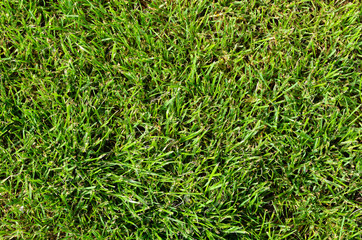 Background of fresh green summer grass