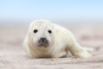 Robbenbaby auf Helgoland