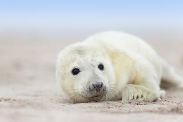 weißes Robbenbaby
