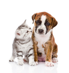 Scottish kitten and cute puppy. isolated on white background