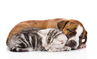 Scottish kitten and puppy sleeping together. isolated on white