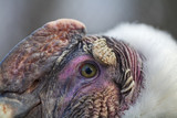 Closeup portrait of the Andean Condor (Vultur gryphus)