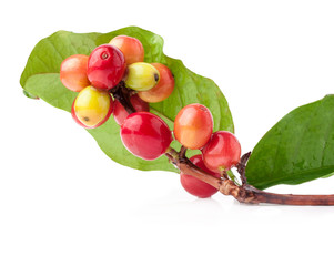 Coffee beans on branch, ripe and unripe berries