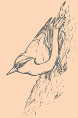 "Vector drawing of a series of sketches ""Birds"". Nuthatch"