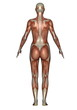 Back muscles of woman - 3D render