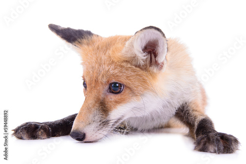 red fox isolated