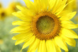 close up of the sunflower