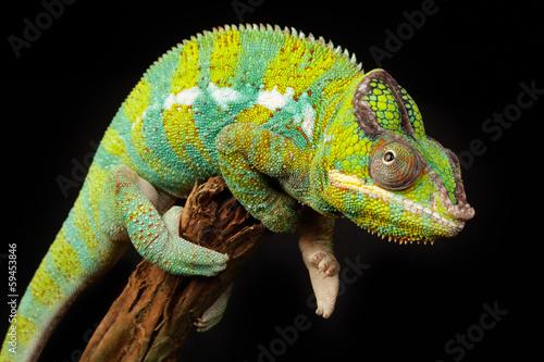 Foto op Canvas Kameleon Chamäleon
