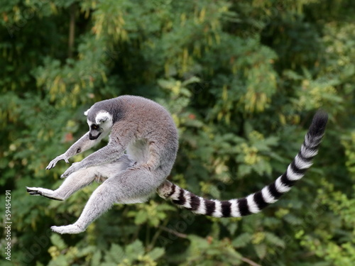 Jumping ring-tailed lemur