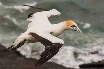 detail of soaring gannet