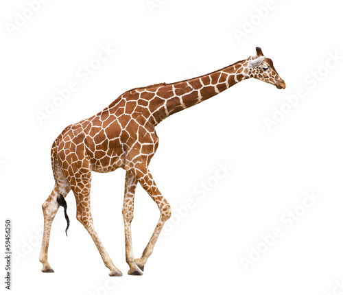 Foto op Canvas Giraffe Giraffe (Giraffa camelopardalis)