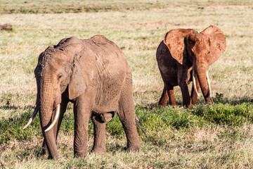 African Elephants in the savana landscape
