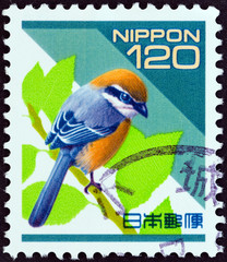 Bull-headed Shrike, Lanius bucephalus (Japan 1998)