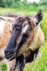 Horned goat.