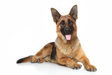 German shepherd - 59460433
