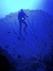 Diver in the blue water with blue light among a blue coral