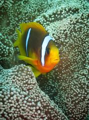 Clownfish lives in symbiosis with anemone