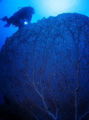 Diver with blue light in blue sea water over a blue coral
