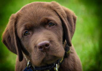 young labrador retriever puppy