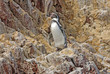 Humboldt Penguin on the Peruvian Coast