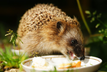 hedgehog drinks milk