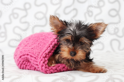 Yorkshire Terrier in a knitted hat